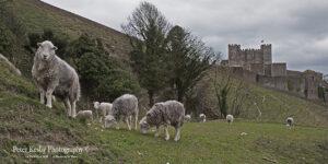 Dover Castle - Sheep