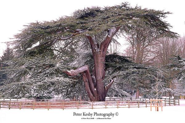 Kearsney Abbey - Cedar Tree - Snow