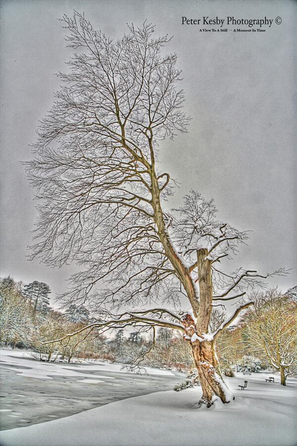 Bushy Ruff - Tree - Snow
