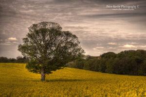 Tree - Rape Seed - Kingsdown