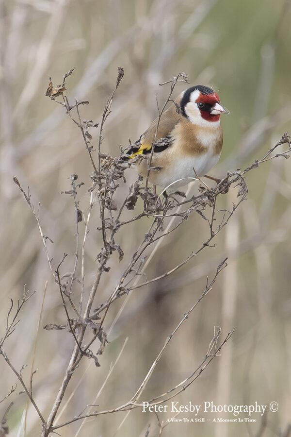 Goldfinch #1