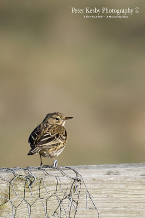 Meadow Pipit #1