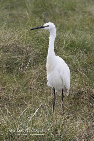 Little Egret #4