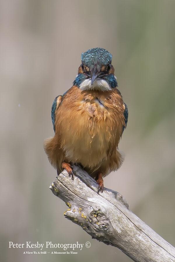 Kingfisher #8