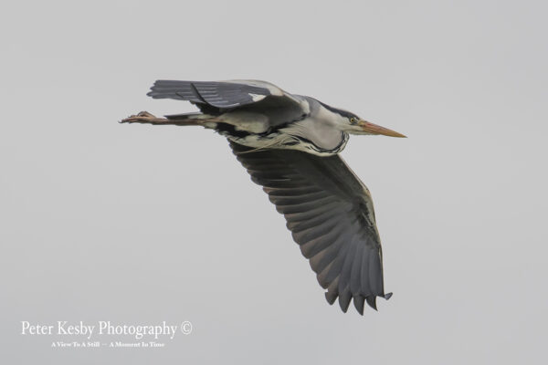 Grey Heron #4