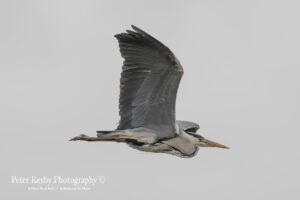 Grey Heron #6