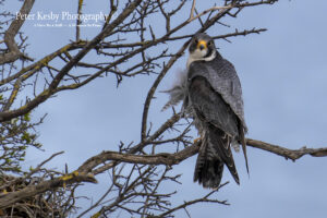 Peregrine In A Tree #1