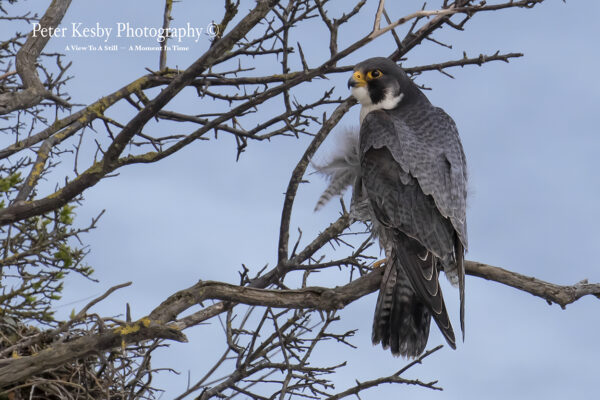Peregrine In A Tree #2