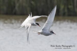 Common Terns #2