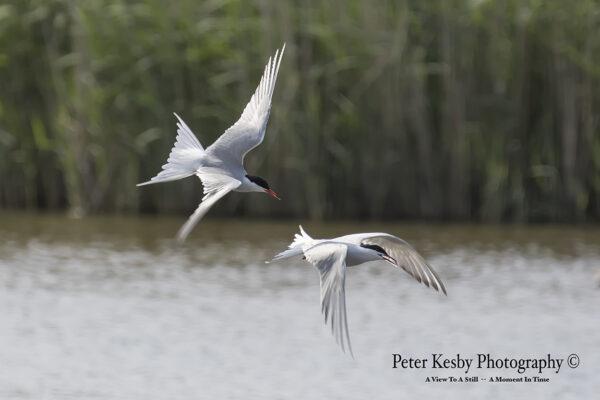Common Terns #3