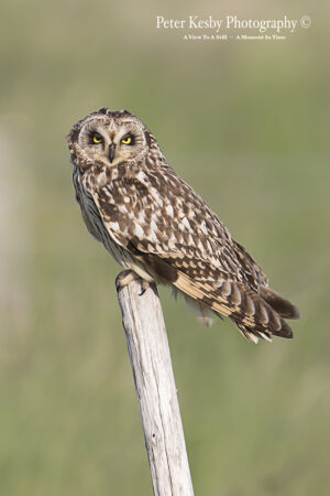Short Eared Owl On A Post #2
