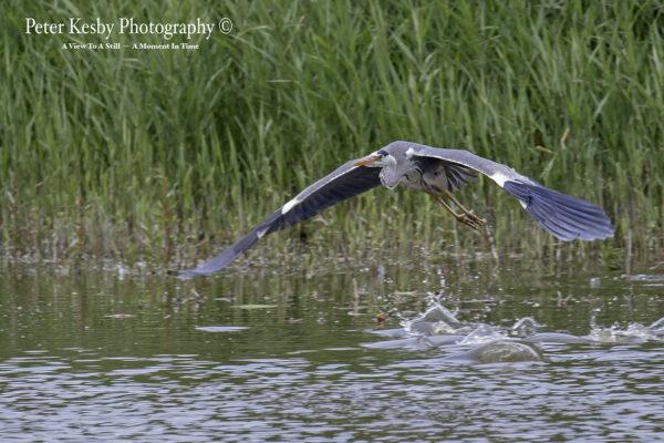 Grey Heron - Stealth Bomber