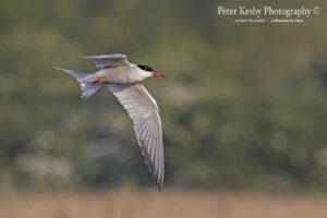 Common Tern #1