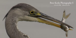 Grey Heron #8