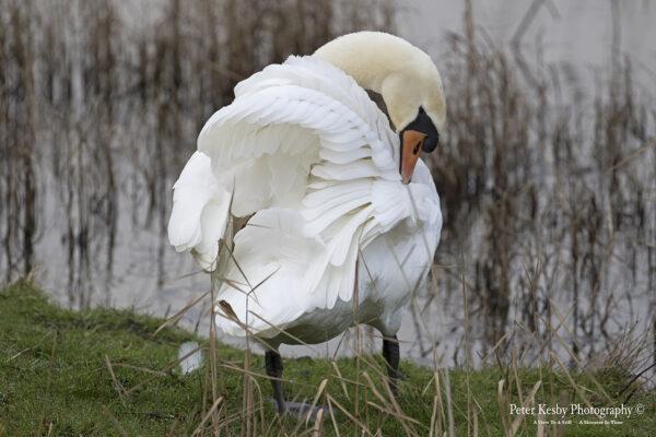 Swan In It's glory