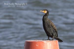 Cormorant #1