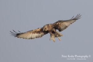 Marsh Harrier #2