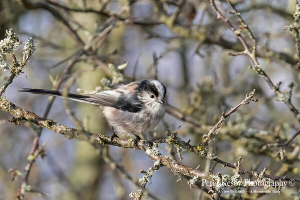 Long Tailed Tit #2