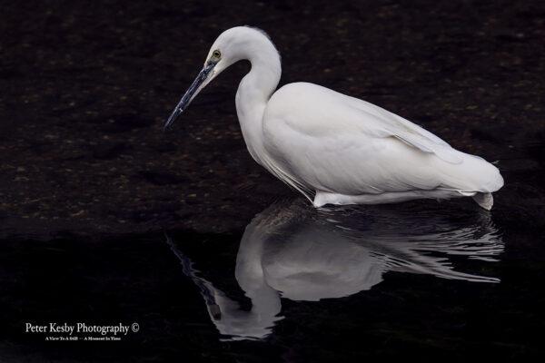 Little Egret - Reflection