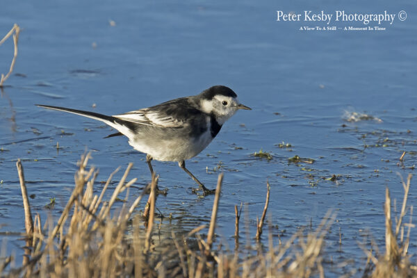 Pied Wagtail #1