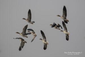 Greylag Geese In Flight #2