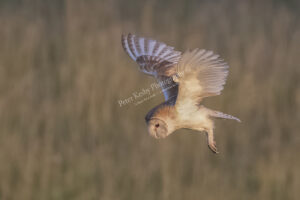 Barn Owl #3