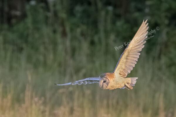 Barn Owl #2