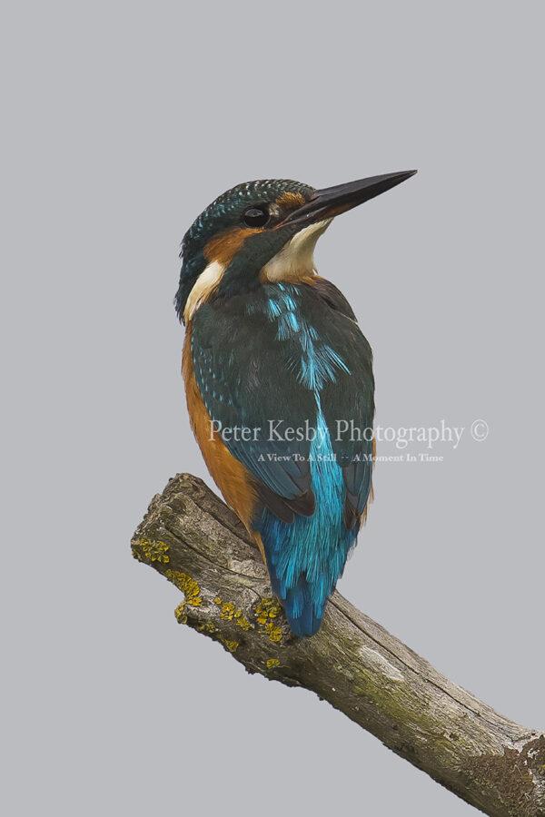 Kingfisher #30