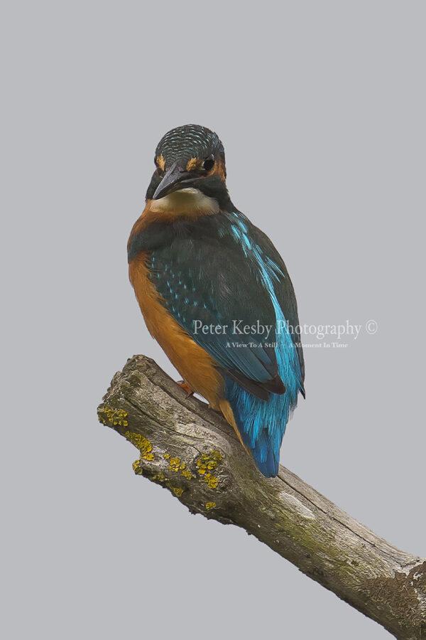 Kingfisher #32