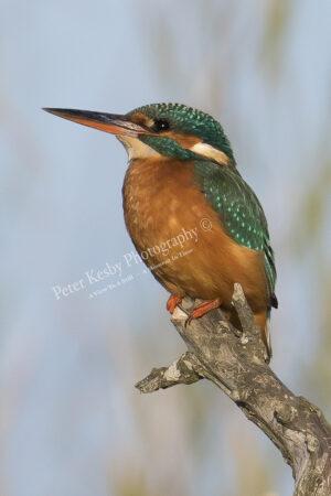 Kingfisher #41