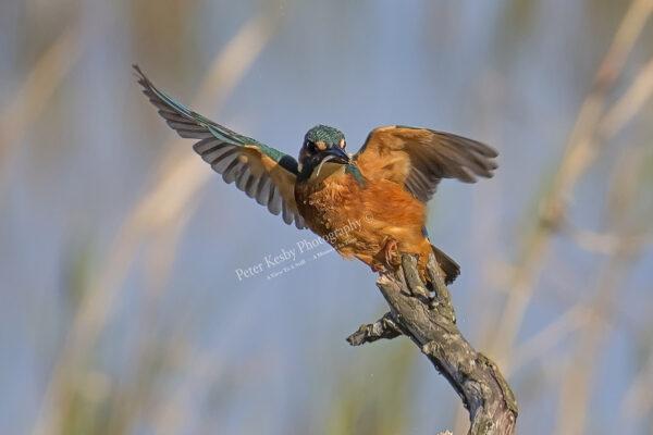 Kingfisher #42