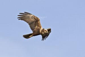 Marsh Harrier #9
