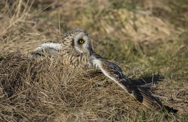 Short Eared Owl #4