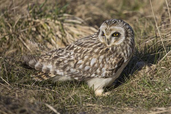 Short Eared Owl #6