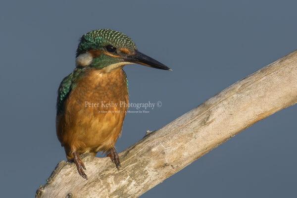 Kingfisher #43