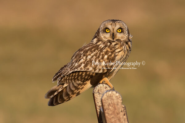 Short Eared Owl #7