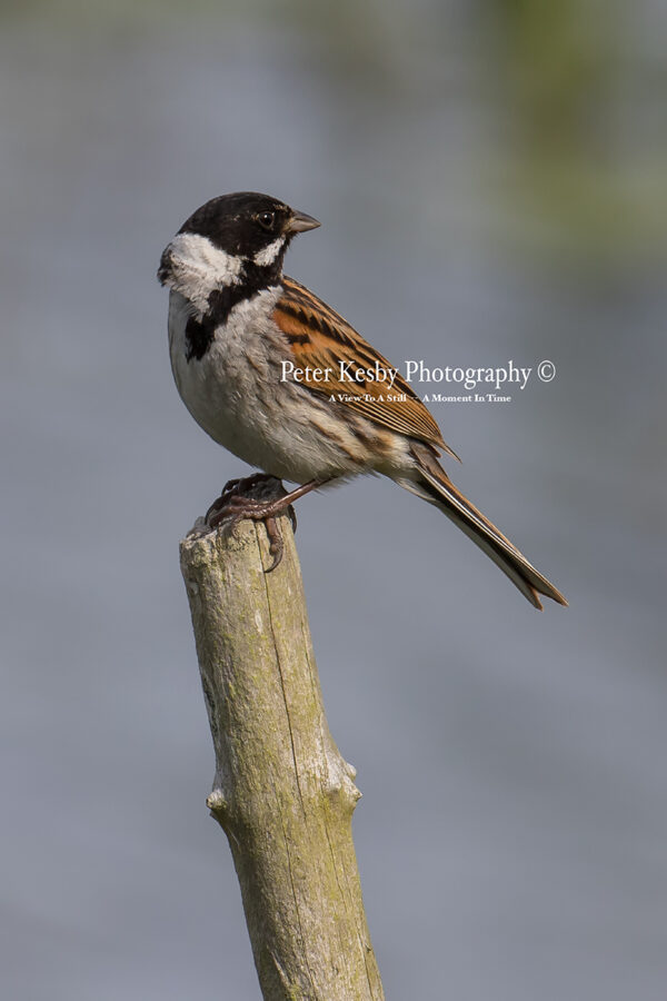 Reed Bunting #4