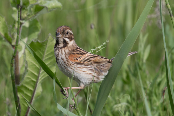 Reed Bunting #2