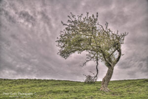 Farthing Common - Bent Over Tree