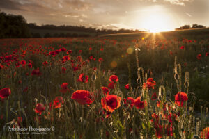 Poppies - Sunburst - Barham