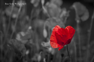 Poppies - Colour Popped