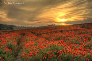 Poppies - Etchinghill - Sunset - #2