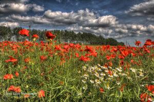 Poppies - Daisies - Bridge - Canterbury