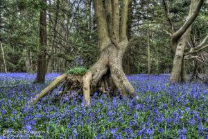 Bluebells - Tree Root