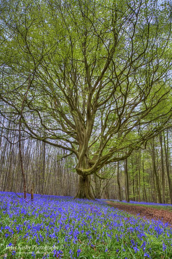 Bluebell Path - Tree