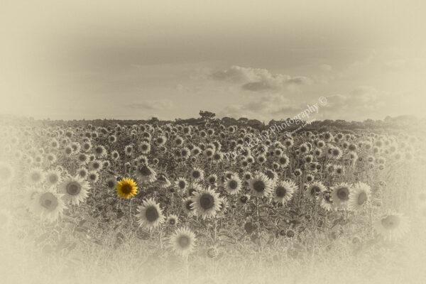 Sunflower - Colour Popped