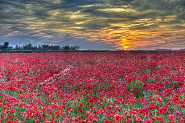 Poppies - Pineham- Sunset