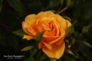 Rose - #1