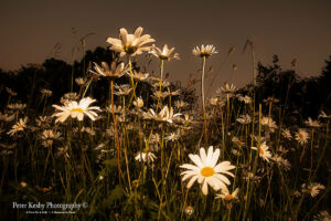 Daisies - Worms Eye View