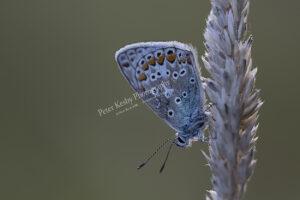 Common Blue #1